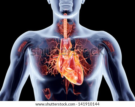 The human heart. 3D rendered anatomical illustration. - stock photo