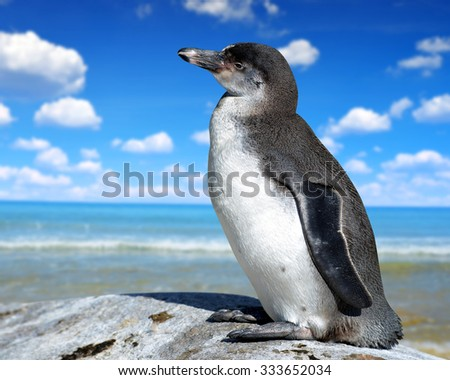 The Humboldt Penguin (Spheniscus humboldti) - stock photo