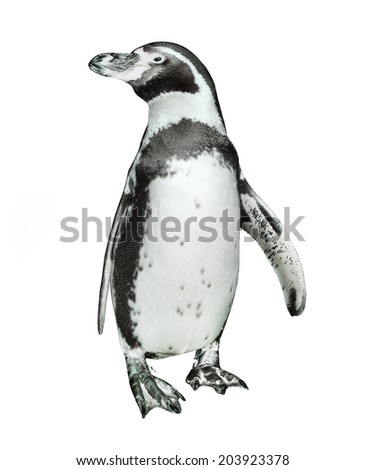 The Humboldt Penguin (Spheniscus humboldti) isolated on a white. - stock photo