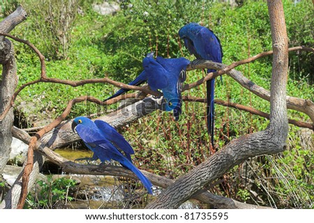The hyacinth macaw is a beautiful bird, deep cobalt blue in color, with a golden eye ring and bill base. It is found in Brazil and easternmost Bolivia,