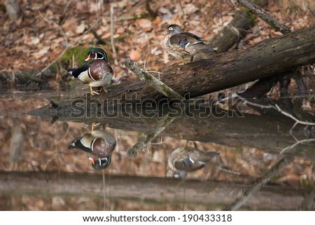 The image of a wood duck is reflected in the water of a small pond while perched on fallen tree - stock photo