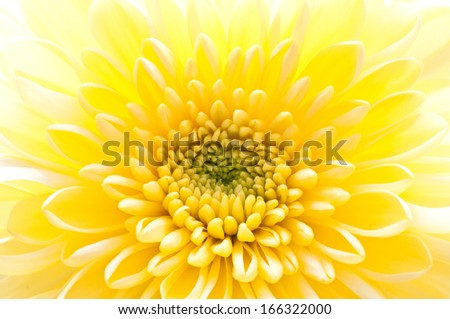 The image of beautiful yellow chrysanthemum.Flower background.