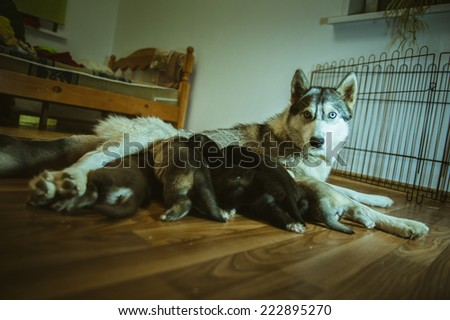 The image of cute dog nursing her little puppies indoor. - stock photo