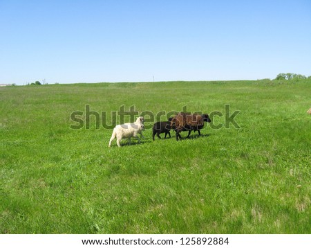 the image of sheeps grazing on a grass - stock photo