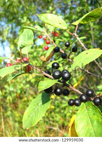The image of the branch with the ripe wolf berries - stock photo