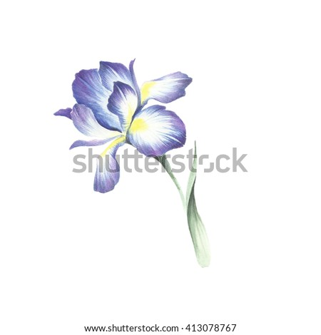The image of the iris. Watercolor illustration.