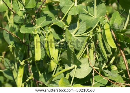 the image shows some sugar peas in a garden