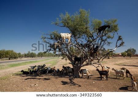 The incredible tree-climbing goats of Agadir, Morocco - stock photo