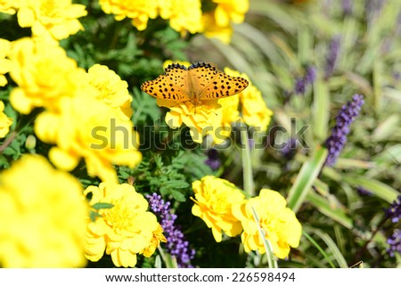 The Indian Fritillary (Argynnis hyperbius) or brush-footed colorful butterfly in japan.. - stock photo