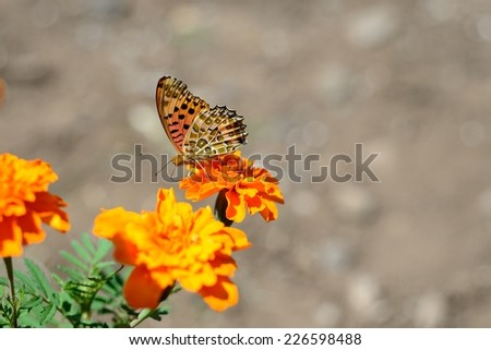 The Indian Fritillary (Argynnis hyperbius) or brush-footed japanese butterfly. - stock photo