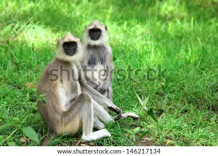 The Indian Langur Monkey - stock photo