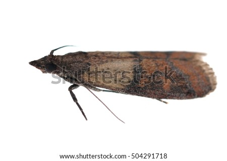 The Indian mealmoth (Plodia interpunctella) isolated on white