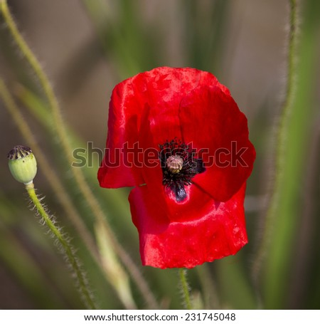 The  intense brilliant red of the Flander's Poppy  papaver rhoeas is contrasted against the black cross in the center and is a symbol of the First World War battle in Flander's fields. - stock photo