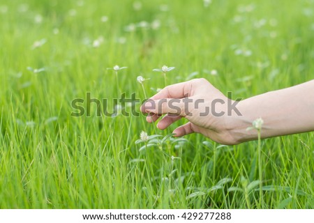 The interaction of man and nature (flower and hand).The girl guesses on a chamomile on nature in summer. The girl tears off the petals of daisy.