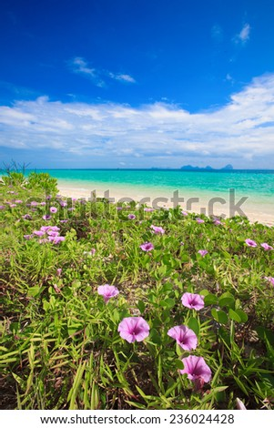 """The """" Ipomoea pes-caprae"""" are blooming on the beach in the morning thailand  - stock photo"""