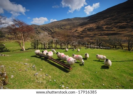 The Irish sheep - stock photo