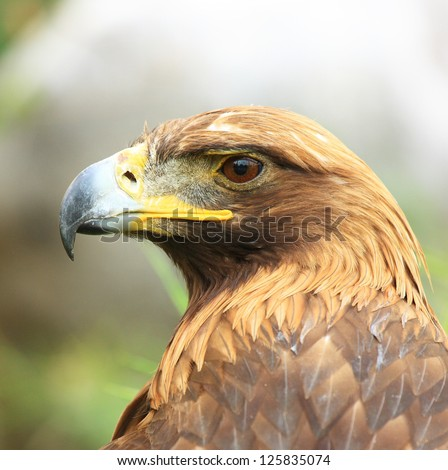 The isolated portrait of hawk - stock photo