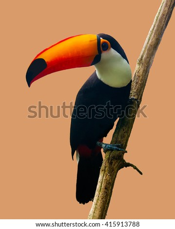 The isolated  Toco toucan sitting on a branch,  The Toco toucan (Ramphastos toco), also known as the common toucan or toucan, It is found in a large part of central and eastern South America. - stock photo