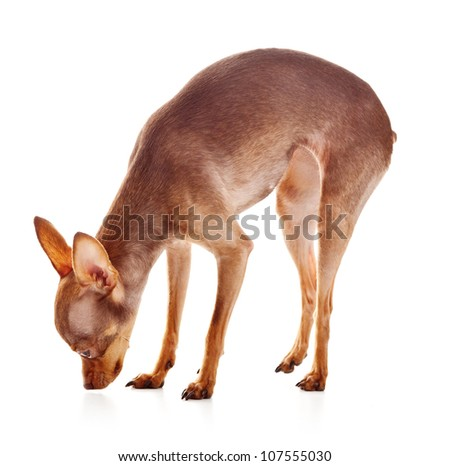 The Italian Greyhound is a small breed of dog, in studio on a white background - stock photo
