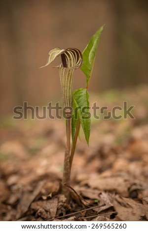 The Jack in the Pulpit (Arisaema triphyllum) also known as brown dragon and Indian turnip is a wild flower growing mainly in North America. It has three leaves and can have red berries in late summer. - stock photo