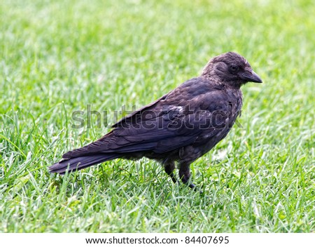 The Jackdaw (Coloeus monedula), sometimes known as the Eurasian Jackdaw, European Jackdaw or Western Jackdaw, is a passerine bird in the crow family. - stock photo