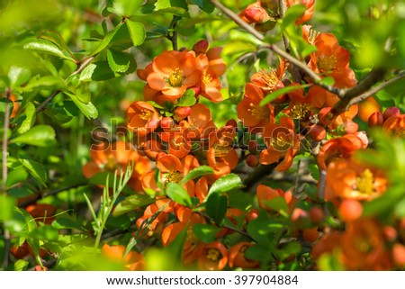 The Japan quince red orange flowers and green leaves at spring day with the blurry flowers on background. Bush of flowers used in traditional Chinese and Asian medicine.Quince branch under bright sun - stock photo