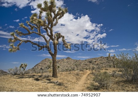 The Joshua tree in Joshua Tree National Park in Southern California.