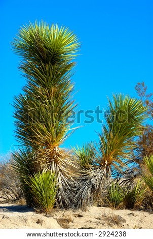 The Joshua tree (Yucca brevifolia) is a monocotyledonous tree native to the state of California and photographed in Death Valley National Park, California, USA. - stock photo