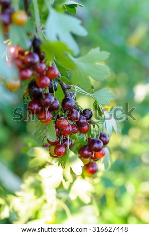 The jostaberry (lat. Ribes x nidigrolaria) is a cross fruit bush involving the black currant, the North American black gooseberry and the European gooseberry.  - stock photo