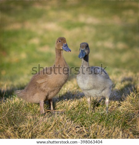 The Khaki Campbell is a breed of domesticated duck that originated in England and is kept for its high level of egg production. This duck's  egg laying production can yield about 300 eggs per year. - stock photo