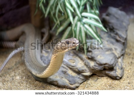 The King Cobra(snake) creeping out  of the nest - stock photo