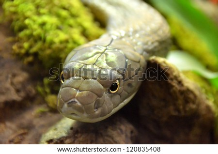 the King Cobra the world's longest venomous snake, growing to over 18 feet and considered to be extremely dangerous.  It can swallow live prey larger than its head. - stock photo