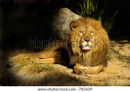 The king of all lions rests near his den. - stock photo