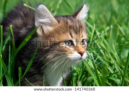 the kitten hides in a green grass - stock photo