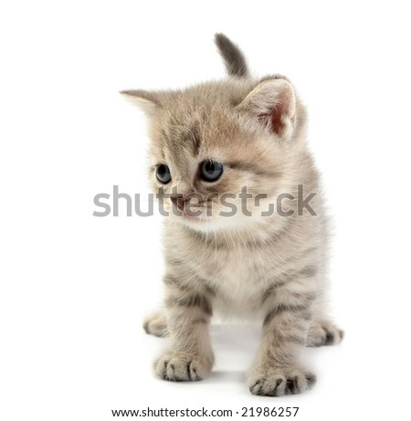 The kitten  on a white background