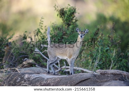 The Klipspringer is highly adapted to live amongst the cliffs and rock formations in Africa