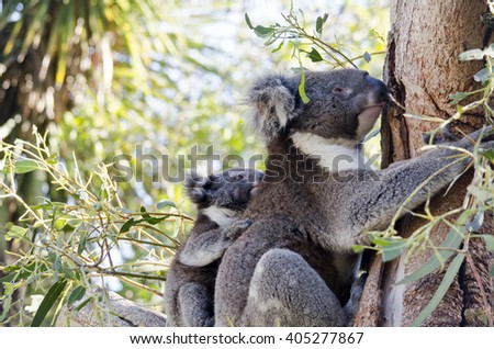 the koala and her joey are resting in the fork of a tree