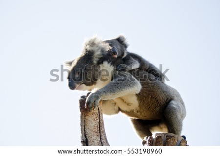 the koala and joey are in the fork of a tree