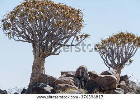 The koekerboom grows in der naminian desert. The branches were used to manufacture quivers for arrows.