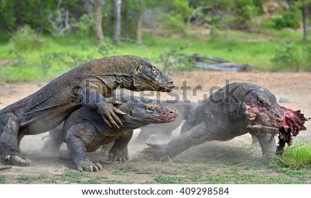 The Komodo dragons (Varanus komodoensis) battle for prey. It is the biggest living lizard in the world, Indonesia. - stock photo