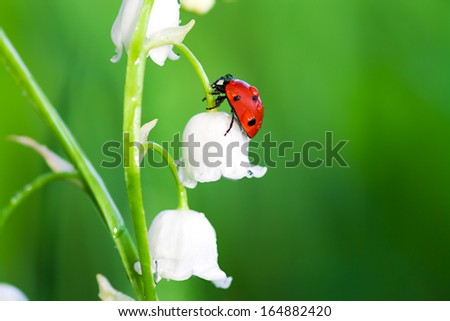 the ladybug sits on a flower of a lily of the valley - stock photo