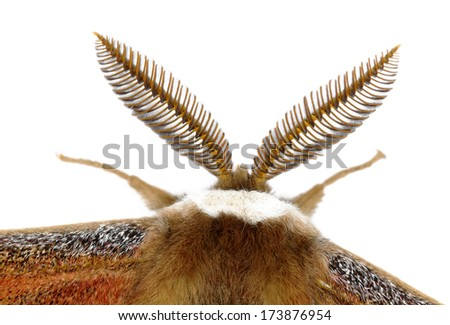 The large antenna of a male moth (Saturnia pavoniella), isolated