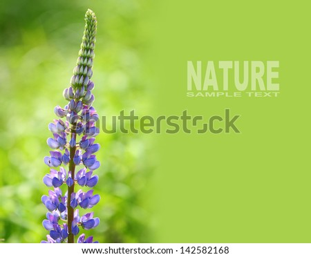 The Large-leaved Lupine (Lupinus polyphyllus) is beautiful summer flower with very toxic (psychedelic) alkaloids. Picture with space for your text. - stock photo