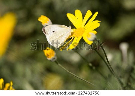 The Large White (Pieris brassicae) also called Cabbage Butterfly, Cabbage White butterfly in japan, - stock photo