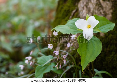 The large white wildflower known as the trillium is one of the earliest wildflowers to bloom in spring. - stock photo