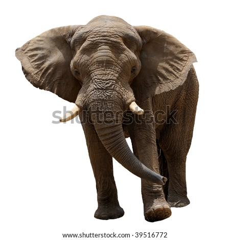 The largest land animal in the zoo, isolated. - stock photo