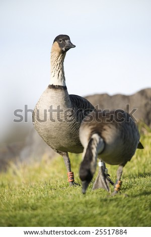The late afternoon sun is casting a warm glow on the lone goose near the visitor center on the Haleakala Volcano. The birds are standing on a green lawn. They have tags on both their legs. - stock photo