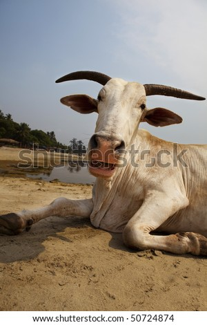 The laughing cow sunbathing on the beach in Goa