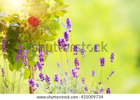 The Lavender field. - stock photo
