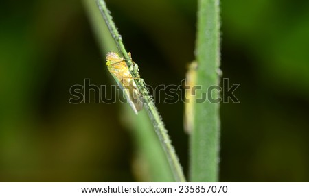 The leaf cicadas branch for close-up photographs of the grass   - stock photo